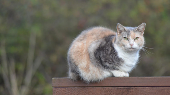 brown, white, and dark grey cat outside on a wooden railing