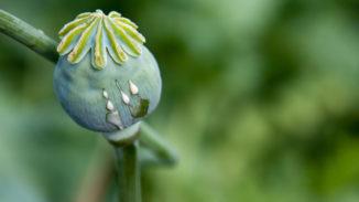 Opium poppy seeping opium sap